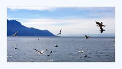 all aflutter (overthemoon) Tags: switzerland suisse schweiz svizzera romandie vaud montreux lake léman lakegeneva mountains alps water blue sunny winter frame