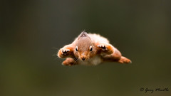SuperSquirrel (Liquidparadox) Tags: supersquirrel red squirrel scotland flying canon 1dx2 500mm outdoor mammal animal woods