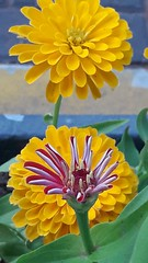 20190220_061820 (Reina y Diosa (chio)) Tags: flores flor composición floresamarillas vegetación plantas