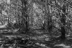 Dappled Light Hike _ bw (Joe Josephs: 3,166,284 views - thank you) Tags: fiscaliniranchpreserve california californialandscape forest trees travel travelphotography landscapephotography landscape rural rurallandscape outdoorphotography hiking hikingtrail bw monochrome blackandwhitelandscape blackandwhite woods