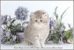 Persian Kitten (dollfacepersiankittens.com) Tags: persian kittens for sale doll face photography felines animals pets cats kitten cat