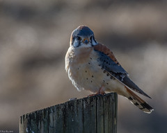 Prince of Peace Valley (Fred Roe) Tags: nikond7100 nikonafsnikkor200500mm156eed nature naturephotography national wildlife wildlifephotography animals birds birding birdwatching birdwatcher raptor falcon americankestrel falcosparverius colors outside flickr peacevalleypark