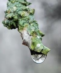 Dew Drop (clarkcg photography) Tags: limb lichen moisture fog droplet onesingledrop smileonsaturday