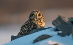 Short-eared owl in evening light (salmoteb@rogers.com) Tags: bird wild outdoor nature wildlife ontario canada shorteared owl snow winter animal