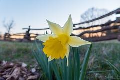 Welcome (Freagull) Tags: daffodil yellowflower yellow flower