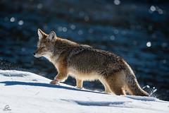 "Prowling the Madison (Glatz Nature Photography) Tags: snow madisonriver ""canislatrans"" coyote glatznaturephotography nature northamerica usnationalparks wildanimal wildlife winter yellowstonenationalpark"