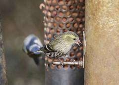 Siskin (f) (Prank F) Tags: titchmarshlnr wildlifetrust northantsuk wildlife nature bird siskin
