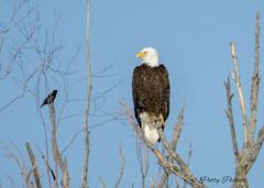 So ..hows your day going (Pattys-photos) Tags: bald eagle starling idaho pattypickett4748gmailcom pattypickett