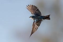 Fly, Baby, Fly!!! (Patricia Ware) Tags: birdsinflight california canon ef400mmf4doisiiusmlens handheld irvine sanjoaquinmarsh tachycinetabicolor treeswallow ©2019patriciawareallrightsreserved unitedstatesofamerica us throughherlens specanimal
