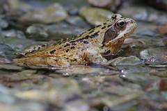 Grasfrosch (Aah-Yeah) Tags: grasfrosch frosch froschlurch rana temporaria grassau achental chiemgau bayern