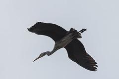 Czapla siwa (puls*) Tags: ptaki birds animal