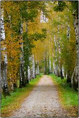 Birkenallee 01 (fotokunst_kunstfoto) Tags: allee birke birken birkenallee herbst weg