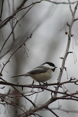 Bird (historygradguy (jobhunting)) Tags: easton ny newyork upstate washingtoncounty bird animal