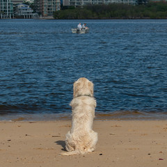 Harvey at North Shore (alan88) Tags: anyvision canidae labels adorable animal back beach beautiful boo breed canine charming contented cool cream curious cute delightful dog ears gander glance golden goldenretriever happy head hide joyful look ocean outdoor patient peek peeking peep pet pretty puppy retriever rock sea sit snoop summer sun watch water wet white wildlife young