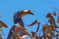 Southern yellow-billed hornbill, Namibia (wildonephotography) Tags: southernyellowbilledhornbill namibia flyingbanana