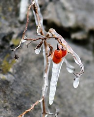 IMG_0542a (rudyschnick) Tags: ice berries
