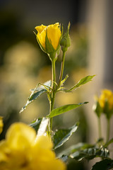 Yellow roses (Martin Bärtges) Tags: roses rose blumen flowers blüten blossoms drausen outdoor outside nikon d750 nikonfotografie nikonphotography natur nature naturephotography naturfotografie yellow gelb colorful farbenfroh sun sunshine sonne sonnenschein