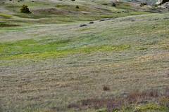 A Gentle Wind Blowing Across the Prairies of North Dakota (Theodore Roosevelt National Park) (thor_mark ) Tags: alongscenicloopdrive azimuth219 buckhilltrail capturenx2edited colorefexpro day6 grassland grassyarea grassyfield grassymeadow greatplains landscape lookingssw mixedgrassprairieecosystem nature nikond800e northamericaplains northernusgreatplains outside portfolio prairiegrass prairiegrasses project365 rollinghillsides southunit sunny theodorerooseveltnationalpark theodorerooseveltnationalparksouthunit triptodakotas triptodakotasandwyoming westcentraldakotaplains northdakota unitedstates