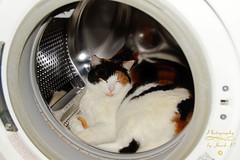 Pure cat :-) (Jurek.P2 - new account) Tags: cat kot pralka washingmachine jurekp2 sonya77