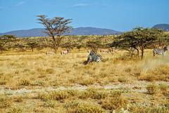 Kenya Samburu by Dietmar Reigber - 105 (Dietmar Reigber) Tags: 2018 africa africanaturereserves africawilderness beisaoryx beisaoryxsamburu beisaoryxsamburukenyaafrica dietmarreigberphotography drysavannavegetation drygrass fujifilmxt2 kenya natureinafricakenya samburu yellowgrass lanscape oryx safari zebra