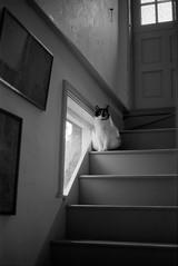 Neko (Sietske de Graaf) Tags: olympusom2n analogue blackandwhite monochrome pet cat zwartwit bw home film agfaapx400 analoog analog indoor epsonperfectionv550