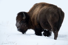 WHITE BUFFALO (laura's Point of View) Tags: winter snow cold ice seasons strong brawn tough solid grandtetonnationalpark nationalparks west western jacksonholemoran wyoming unitedstates northamerica lauraspov lauraspointofview bison buffalo animal mammal wildlife