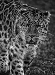 YWP: Amur Leopard (Adrian.W) Tags: leopard amurleopard bigcat flickrbigcats feline predator endangeredspecies mammal animal fur wildlifephotography monochromatic blackwhite panasonic lumix lumixgx9 gx9 100300mm mirrorlessphotography micro43 yorkshirewildlifepark ywp yorkshire doncaster