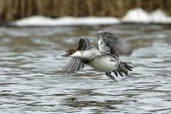 Female Smew in Flight. (noelbarke) Tags: female smew in flight rspb snettisham mergus albellus noel barke reddish brown head white cheeks
