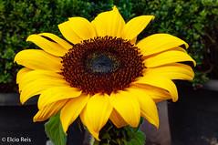 Sunflower (elcio.reis) Tags: flower flor sunflower girassol nikon sãopaulo brazil br