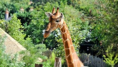 Girafe (claude 22) Tags: girafe giraffa camelopardalis zooparcdebeauval saintaignansurcher france suricate beauval park animalier animals sauvages wild nature zoo