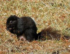 IMG_2133-1 (lbj.birds) Tags: kansas nature flinthills wildlife squirrel easternfoxsquirrel melanisticeasternfoxsquirrel