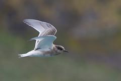 Antarctic Tern (Tim Melling) Tags: sterna vittata antarctic tern juvenile cooper bay south georgia timmelling