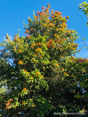 Auranticarpa rhombifolia - Holly-leaved Pittosporum, White Hollywood (Black Diamond Images) Tags: auranticarpa auranticarparhombifolia pittosporaceae hollyleavedpittosporum whitehollywood australianrainforestplants arfp nswrfp qrfp subtropicalarf dryarf vinethicketarf arffs orangearffs tinonee nsw australianrainforestfruits australianrainforestseeds rainforestfruits rainforestseeds plant tree appleiphonex iphonexbackdualcamera iphonex iphone