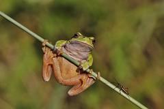Bug against Frog (Hugo von Schreck) Tags: hugovonschreck frog bug frosch käfer yourbestoftoday canoneos5dmarkiii onlythebestofnature tamronspaf180mmf35dildifmacro11 buzznbugz