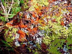 Lichen on pumice (wlemieux) Tags: scottsdale mcdowellsonoranpreserve arizona sonorandesert color pumice