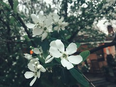 63/365 (moke076) Tags: 2019 365 project 365project project365 oneaday photoaday mobile cell cellphone iphone outdoors cabbagetown flowers flower bloom tree nature white blossom