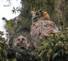 Bedraggled Great Horned Owls (MyKeyC) Tags: mmykeyyahoocom instagramcommykeycohen flickrcomphotosmykeyc wwwfacebookcommikecohen182 mykey4photogmailcom michaeljcohen greathornedowl wet nest gho chick safetyharbor clearwater owl greathorned philippepark