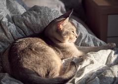 20190226_33_LR (enno7898) Tags: panasonic lumix lumixg9 dcg9 xvario 35100mm f28 cat abyssinian pet