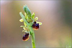 Pride (Luciano Silei - sky7) Tags: ophrys ophryssphegodes wildorchid orchid bokeh macro closeup canon6d sigma150macro nature spring flower