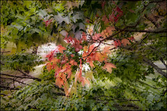 Getting that autumn feeling (Greenstone Girl) Tags: tree zoom red autumncolour leaves green maple