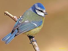 Herrerillo común  (Cyanistes caeruleus) (2) (eb3alfmiguel) Tags: aves pájaros insectívoros passeriformes paridae herrerillo común cyanistes caeruleus