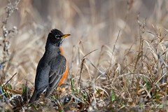 Spring is Here! (craig goettsch - out shooting) Tags: fountaincreekregionalpark robin americanrobin bird avian grass animal wildlife nature nikon d850