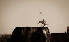 Magic (Chiaro Chiari) Tags: seagull gabbiano wings ali monocromo bw bn harbor porto port bird uccello nature natura sky cielo venice venezia sea mare wood legno animals animali