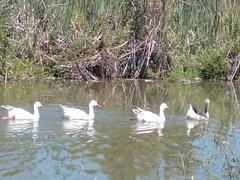 Many ducks (AlejjGarcía) Tags: ave aves patos parvada