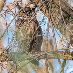 Great-Horned Owl (Kevin E Fox) Tags: greathornedowl owl raptor bird birdwatching birding birds birdofprey birdphotography sigma150600sport sigma nature nikond500 nikon wissahickontrail wissahickonpark pennsylvania pa