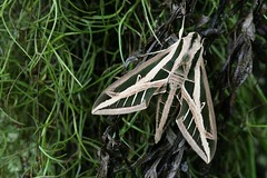 branco em verde (abelhário) Tags: barbadevelho bandedsphinx mariposa moth mot nachtfalter nachtvlinder tillandsiausneoides eumorphafasciatus white green wit groen weiss grün verde branco