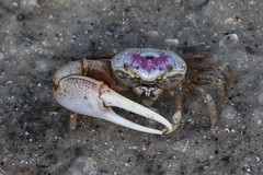 Sand Fiddler Crab (Uca pugilator) (Ron Winkler nature) Tags: sand fiddler crab ucapugilator uca pugilator arthropod marine merrittisland merritt island national wildlife refuge florida nature us usa united states canon 100400ii