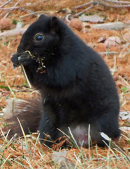 IMG_1855-1 (lbj.birds) Tags: kansas nature flinthills wildlife squirrel foxsquirrel easternfoxsquirrel melanisticeasternfoxsquirrel