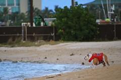 """"""" I don't like water..."""" (ALOHA de HAWAII) Tags: alamoanabeachpark"""
