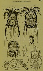 This image is taken from Page 157 of Les acariens parasites [electronic resource] (Medical Heritage Library, Inc.) Tags: acari arachnid vectors wellcomelibrary ukmhl medicalheritagelibrary europeanlibraries date1892 idb20406186